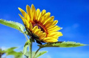 sunflower, flower, bloom